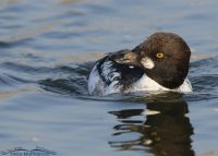 First winter drake Common Goldeneye close up, Salt Lake County, Utah