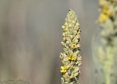 Common Mullein in bloom, Little Emigration Canyon, Summit County, Utah