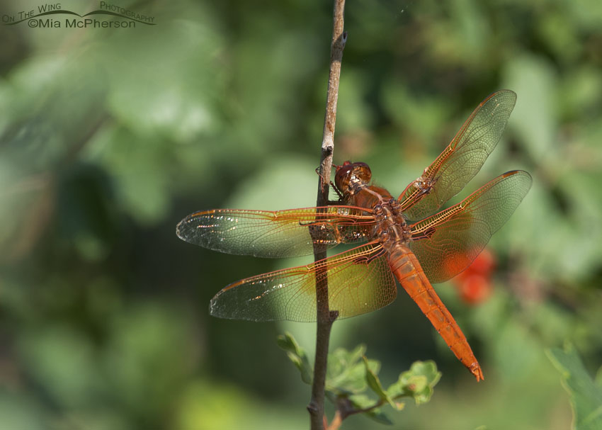 Male Flame Skimmer Dragonfly in northern Utah, Box Elder County