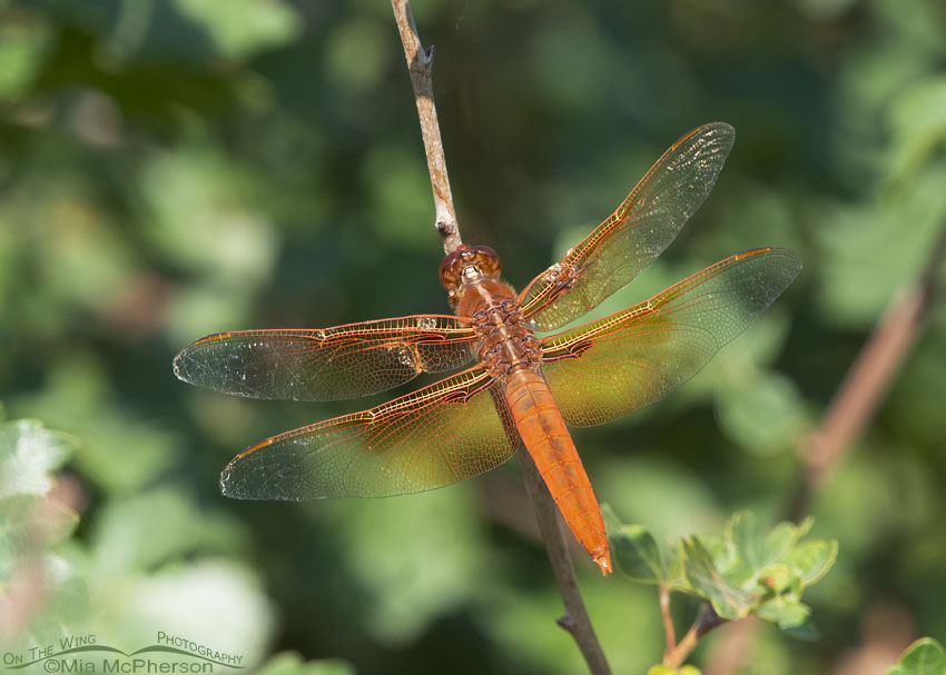 Back view of Flame Skimmer Dragonfly male, Box Elder County, Utah