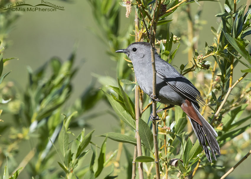 Gray Catbird and Willows, Little Emigration Canyon, Summit County, Utah