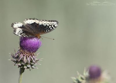 Great Spangled Fritillary female on a Musk Thistle, Little Emigration Canyon, Morgan County, Utah