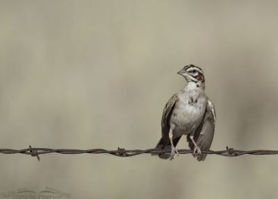 Lark Sparrow with droopy wings, Box Elder County, Utah