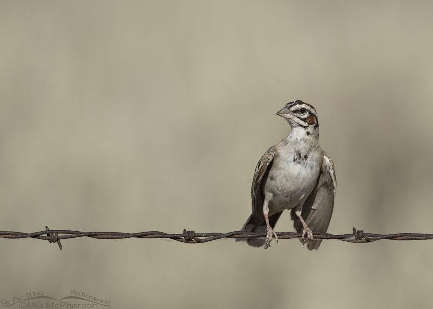 Lark Sparrow with droopy wings, Box Elder County, Utah
