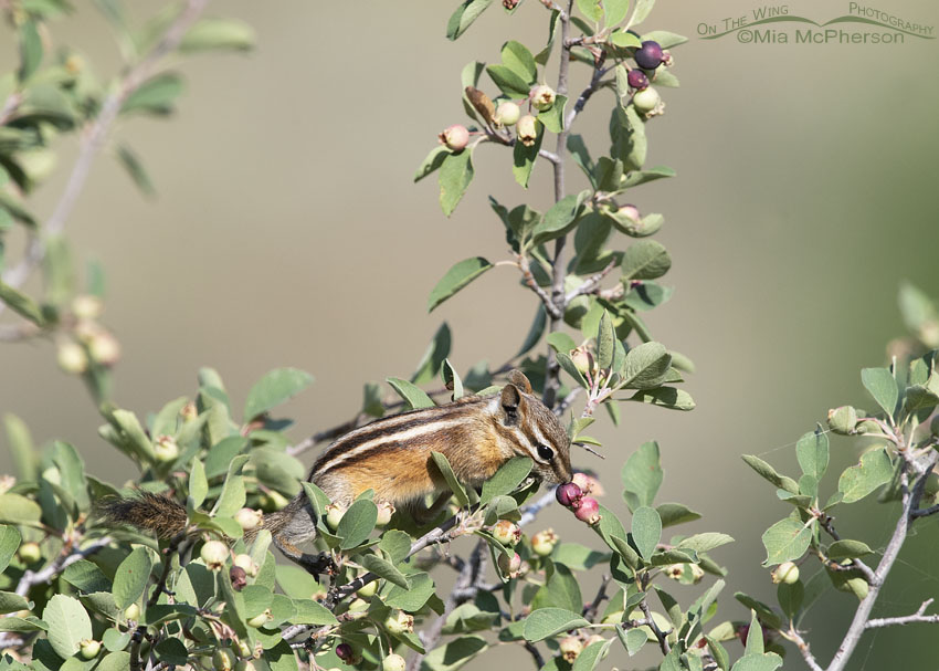Least Chipmunk in a Utah Serviceberry Shrub, Little Emigration Canyon, Summit County, Utah