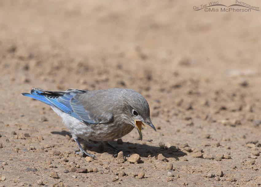 Juvenile Mountain Bluebird dropping an ant