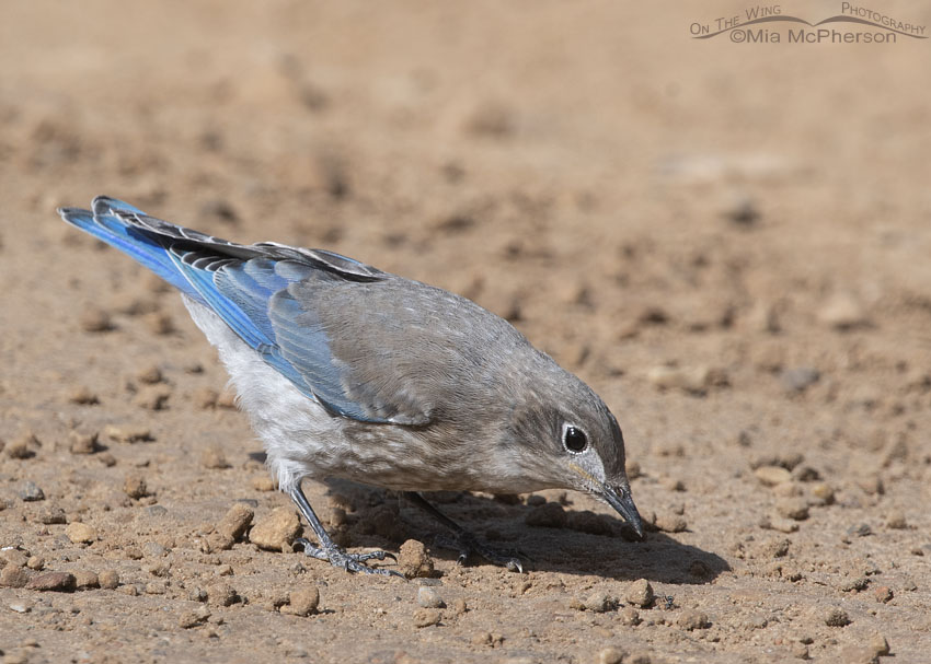 Juvenile Mountain Bluebird and an ant on the road, Little Emigration Canyon, Summit County, Utah