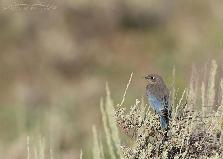 Juvenile Mountain Bluebird perched on sagebrush, Little Emigration Canyon, Summit County, Utah