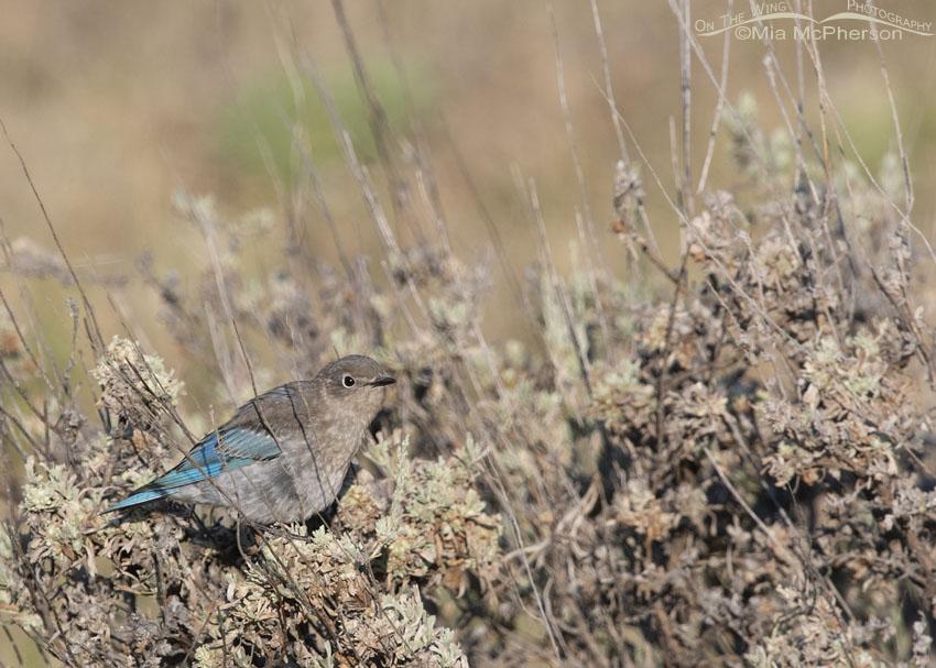 Sagebrush and a young Mountain Bluebird, Little Emigration Canyon, Summit County, Utah