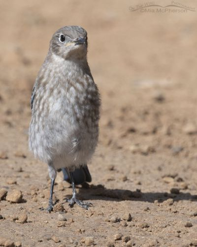 Juvenile Mountain Bluebird on a mountain canyon road, Little Emigration Canyon, Summit County, Utah