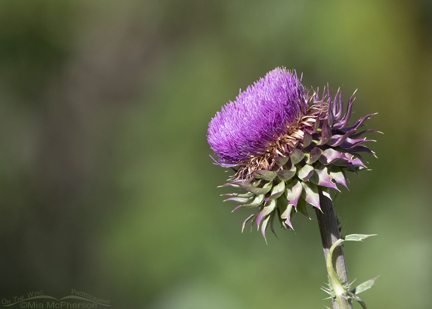 Musk Thistle in morning light, Little Emigration Canyon, Summit County, Utah
