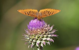 Fritillary butterfly on a Musk Thistle, Little Emigration Canyon, Summit County, Utah