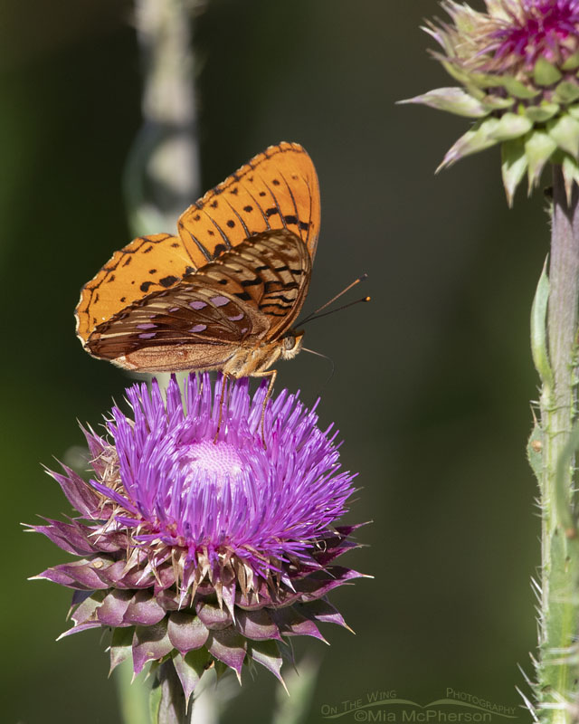 Fritillary butterfly, Little Emigration Canyon, Summit County, Utah