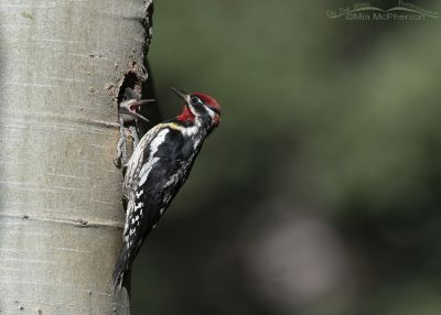 Red-naped Sapsucker chick begging for food, Targhee National Forest, Clark County, Idaho