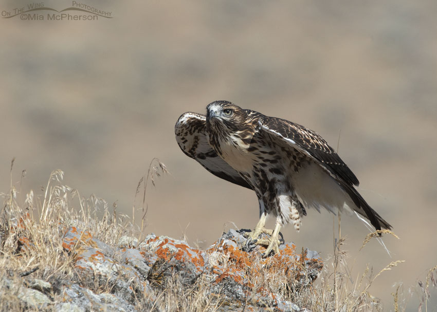 Red-tailed Hawk juvenile getting ready to lift off, Box Elder County, Utah