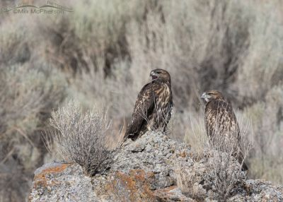 Red-tailed Hawk siblings on a lichen covered rock, Box Elder County, Utah