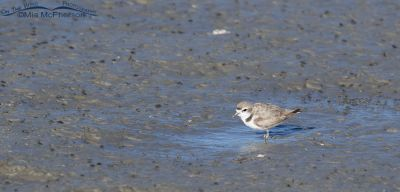Snowy Plover foraging in the mud, Bear River Migratory Bird Refuge, Box Elder County, Utah