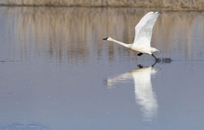 Adult Tundra Swan running to take off, Bear River Migratory Bird Refuge, Box Elder County, Utah