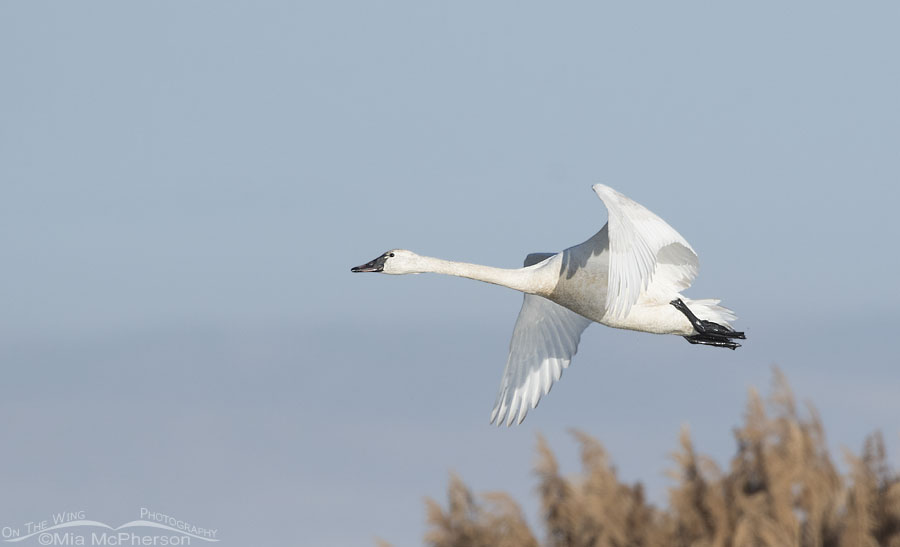 Immature Tundra Swan in flight over Bear River MBR, Bear River Migratory Bird Refuge, Box Elder County, Utah