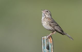 Vesper Sparrow singing in the Wasatch Mountains, Little Emigration Canyon, Summit County, Utah