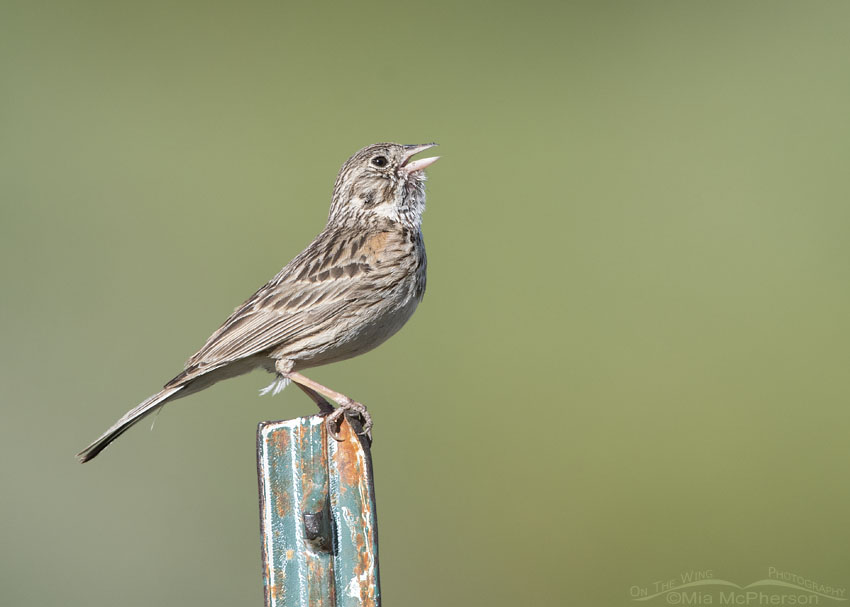 Vesper Sparrow singing on a metal post, Little Emigration Canyon, Summit County, Utah