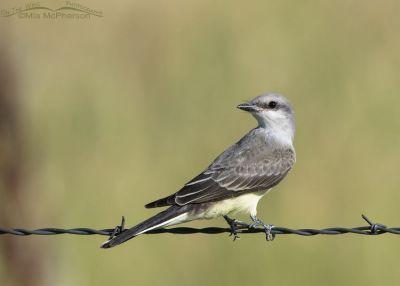 Juvenile Western Kingbird next to a country road, Box Elder County, Utah