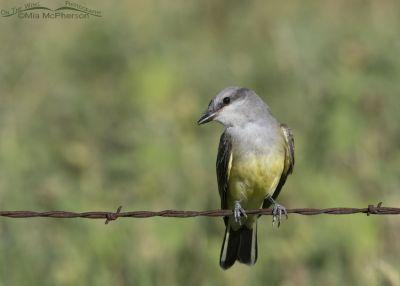 Curious Western Kingbird juvenile, Box Elder County, Utah