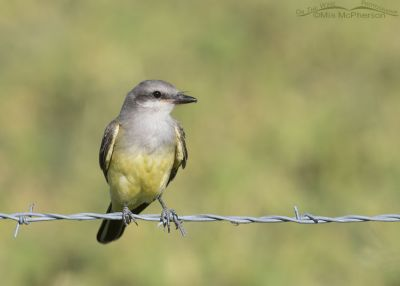Juvenile Western Kingbird perched on a fence in Box Elder County, Utah