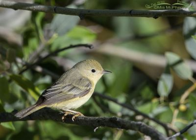 Female Yellow Warbler in a thicket, Little Emigration Canyon, Summit County, Utah