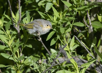 Fledgling Yellow Warbler foraging on its own, Little Emigration Canyon, Summit County, Utah