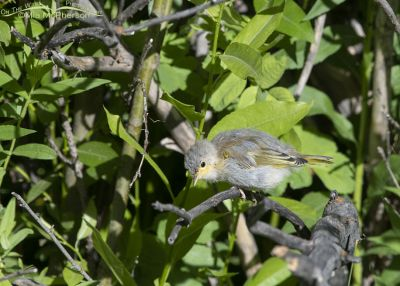 Fledgling Yellow Warbler searching for food, Little Emigration Canyon, Summit County, Utah
