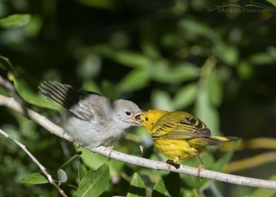 Fledgling Yellow Warbler and missed prey, Little Emigration Canyon, Summit County, Utah