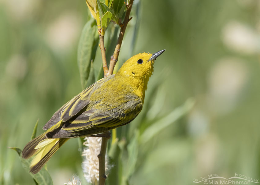 Close male Yellow Warbler perched in willows and sunlight