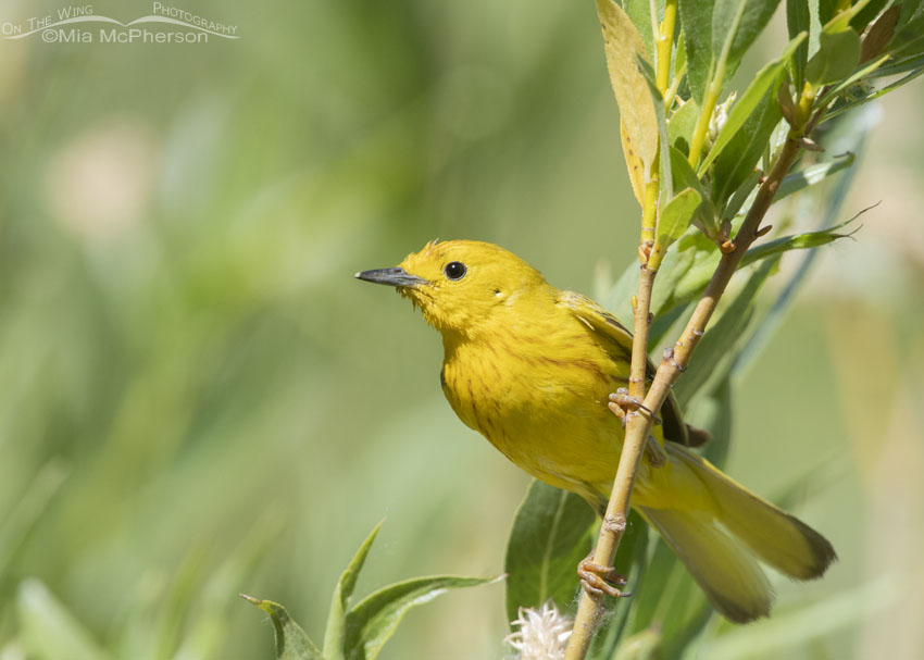 Close up male Yellow Warbler, Little Emigration Canyon, Summit County, Utah