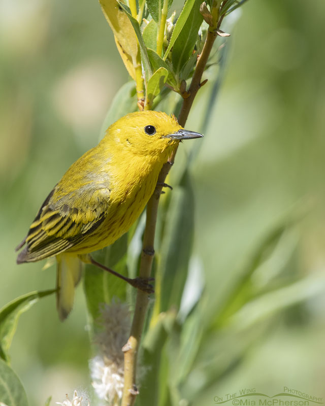 Curious look from a close male Yellow Warbler, Little Emigration Canyon, Summit County, Utah