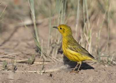 Male Yellow Warbler foraging on the ground, Little Emigration Canyon, Summit County, Utah