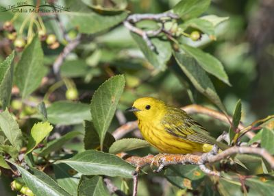Male Yellow Warbler in a Hawthorn tree, Little Emigration Canyon, Summit County, Utah