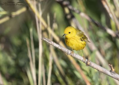 Yellow Warbler male on a thin branch, Little Emigration Canyon, Summit County, Utah