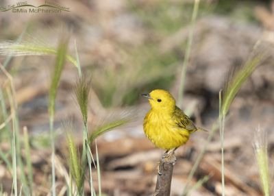 Perky Yellow Warbler male, Little Emigration Canyon, Summit County, Utah