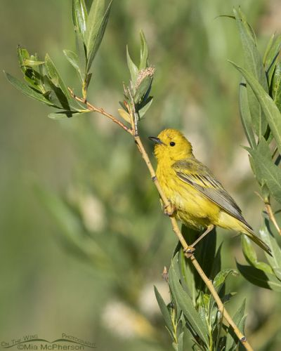 Male Yellow Warbler shining brightly in the willows, Little Emigration Canyon, Summit County, Utah