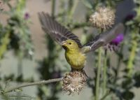 Female American Goldfinch lifting off, Little Emigration Canyon, Morgan County, Utah