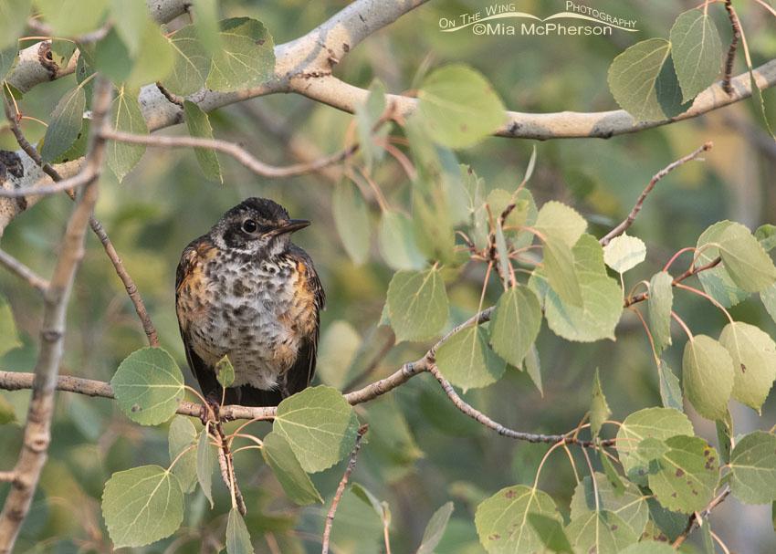 Immature American Robin resting in an Aspen tree, Little Emigration Canyon, Morgan County, Utah