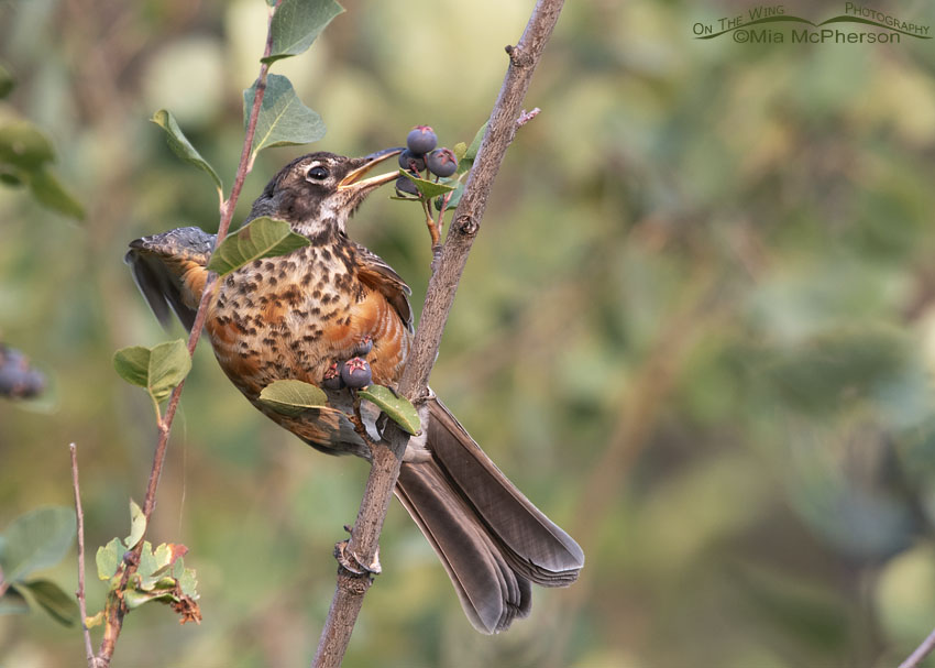 Immature American Robin reaching for a berry, Little Emigration Canyon, Morgan County, Utah