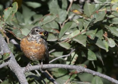 Immature American Robin with a Chokecherry, Smith and Morehouse Reservoir, Summit County, Utah