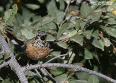 Immature American Robin swallowing a Chokecherry, Smith and Morehouse Reservoir, Summit County, Utah