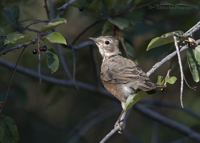 Immature American Robin in a Chokecherry tree, Smith and Morehouse Reservoir, Summit County, Utah