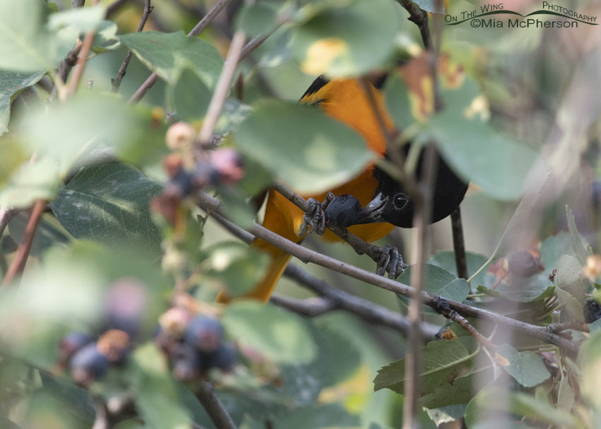 Male Baltimore Oriole eating a ripe Serviceberry berry, Morgan County, Utah