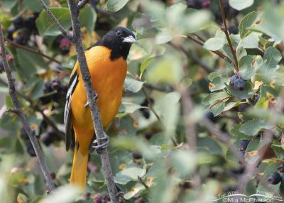 Male Baltimore Oriole in the Wasatch Mountains, Morgan County, Utah