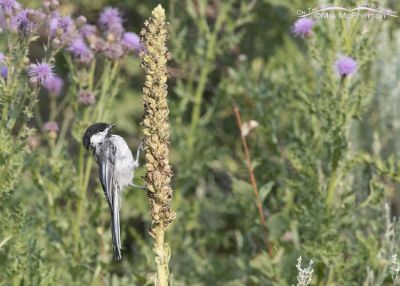 Bedraggled Black-capped Chickadee on a Common Mullein, Little Emigration Canyon, Morgan County, Utah
