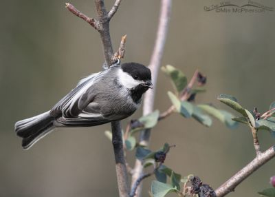 Calling Black-capped Chickadee, Little Emigration Canyon, Morgan County, Utah